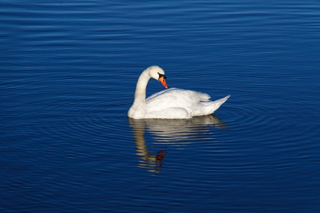 swan on blue water | Kelly Chandler Consulting
